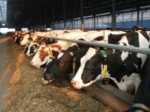 Secretele-unei-productii-ridicate-de-lapte-in-fermele-de-vaci